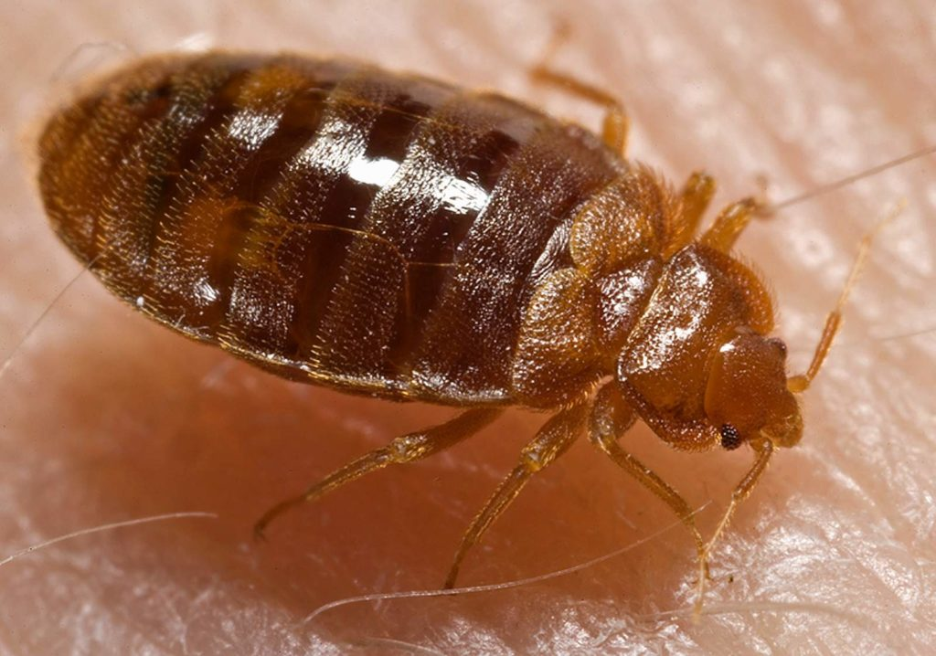 Bed bug Cimex lectularius grove city