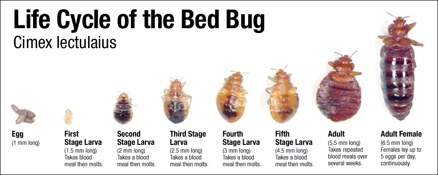 bed bug life cycle grove city